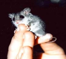 pygmypossum
