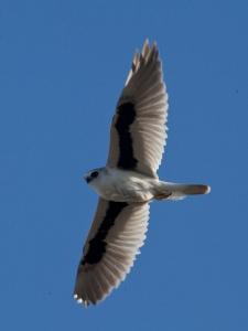 Letter-wing kite