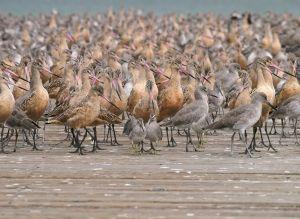 Shorebirds_01_wikimedia